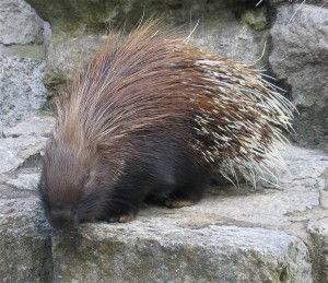 Porcupine, image by Guglielmo Losio on StockExchange